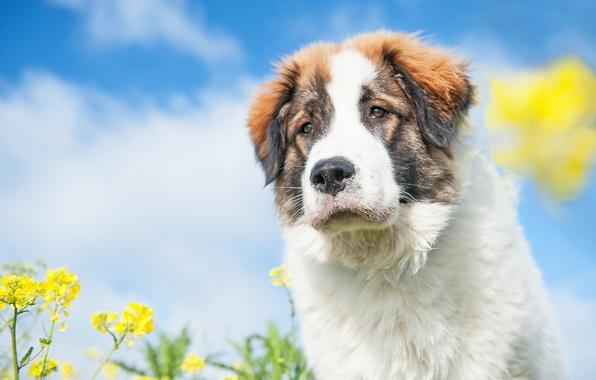 Картинка морда, цветы, собака, пёс, боке, рапс