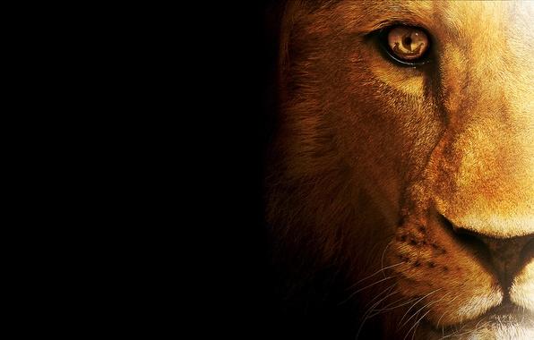 Картинка кошка, хищник, лев, зверь