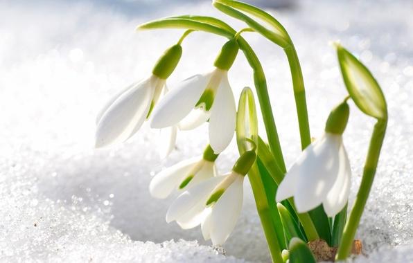 Картинка снег, цветы, лепестки, подснежники