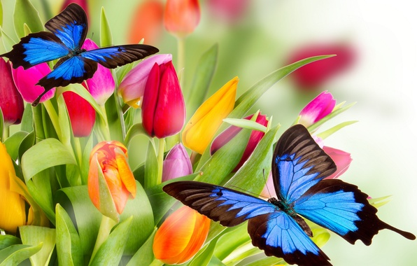 Картинка бабочки, цветы, яркие, красота, лепестки, тюльпаны, красные, red, розовые, оранжевые, разноцветные, yellow, pink, жёлтые, flowers, …