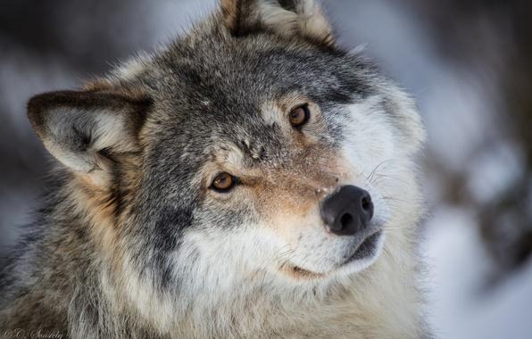 Картинка взгляд, морда, серый, волк, портрет, хищник