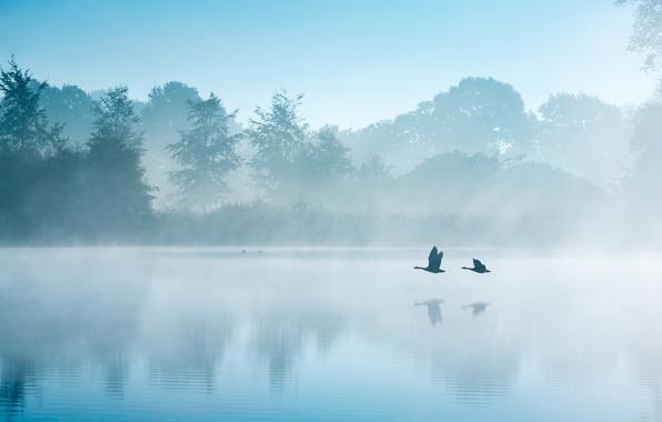Картинка осень, птицы, туман, озеро, утро, Нидерланды, лебеди, гуси, Сентябрь