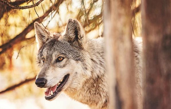 Картинка лес, животные, волк, хищник