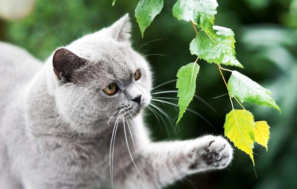 Картинка зелень, кошка, кот, листья, серый, лапа, ветка, британский, британец