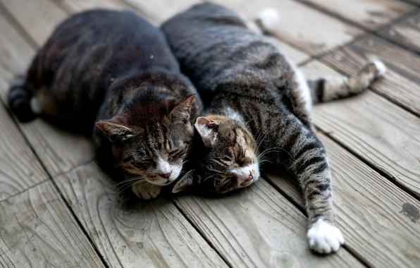 Картинка кошки, коты, доски, спят, лежат, полосатые