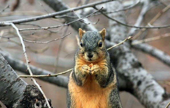 Картинка дерево, ветка, белка, грызун, squirrel