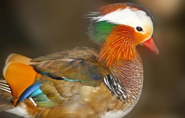 Картинка птица, утка, мандаринка