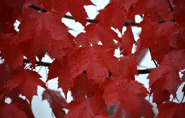 Картинка осень, листья, вода, капли, роса, дождь, клен