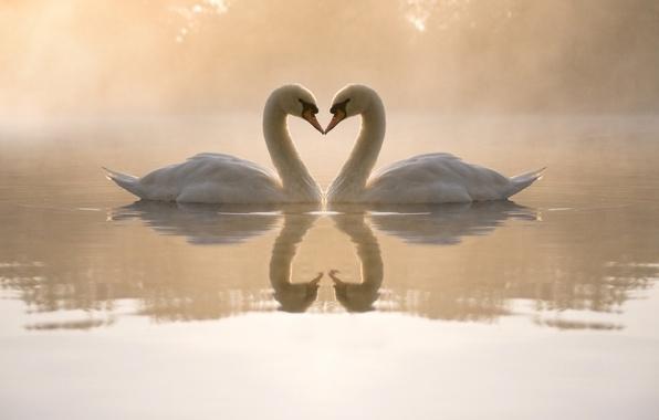 Картинка вода, любовь, туман, пруд, сердце, вечер, пара, лебеди, отблески
