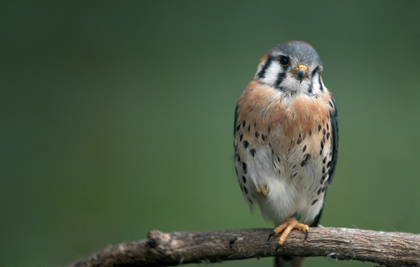Картинка птица, хищник, ветка, bird, ястреб, 1920x1080, branch, hawk