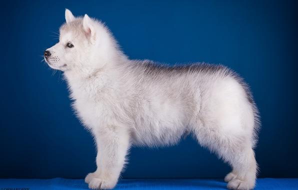 Фото обои щенок, профиль, хаски, порода