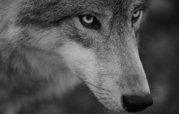 Картинка взгляд, морда, волк, портрет, хищник