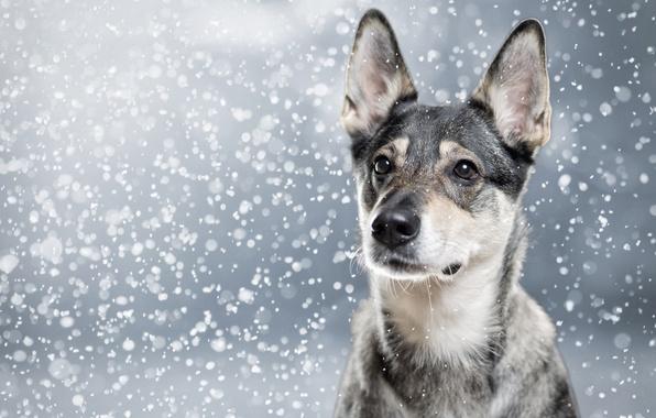 Картинка морда, снег, портрет, собака, уши