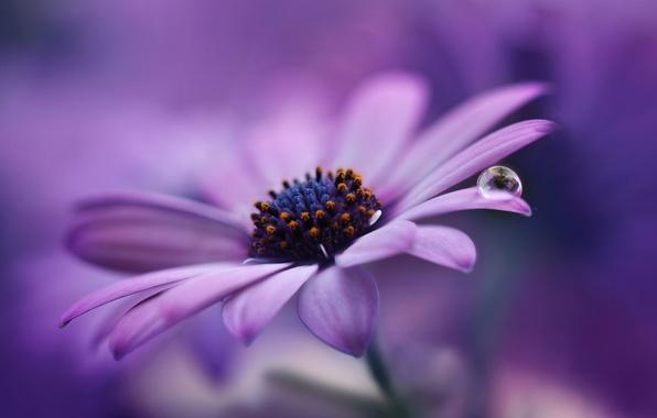 Картинка цветок, фиолетовый, макро, фон, сиреневый, лепестки, капелька, Маргаритка