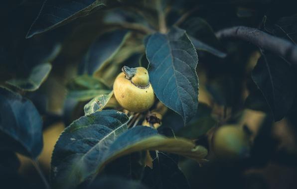 Картинка листья, яблоко, Apple Duck
