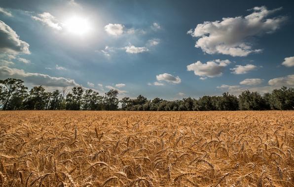Картинка пшеница, поле, лето, небо, солнце, колоски