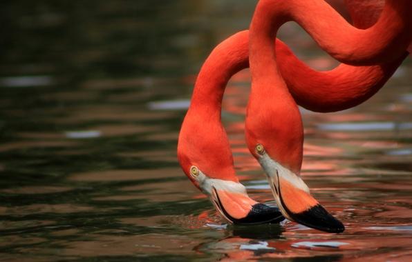Картинка вода, птицы, дуэт, фламинго, шея