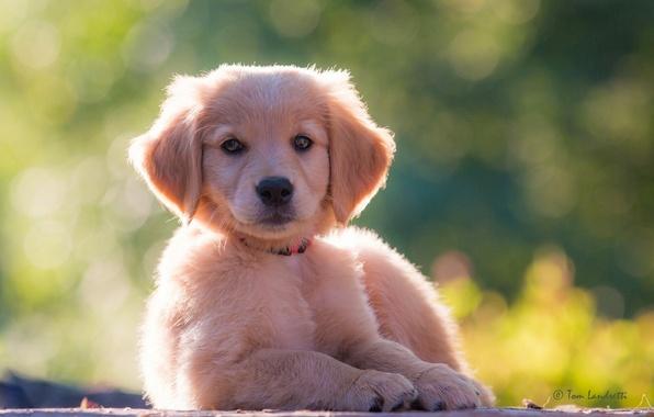 Картинка взгляд, собака, щенок, Голден ретривер, Золотистый ретривер