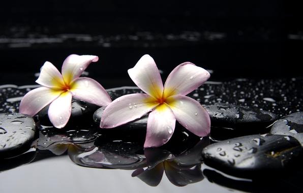 Картинка вода, капли, цветы, камни, желтые, розовые, черные, плюмерия