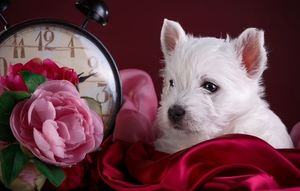 Картинка белый, цветы, часы, щенок, ткань