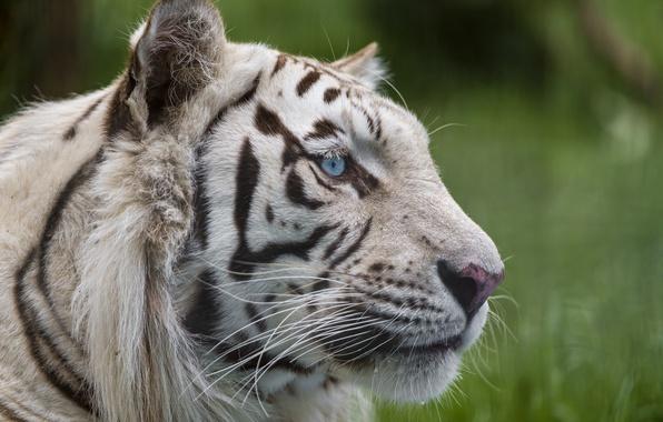 Картинка кошка, взгляд, морда, голубые глаза, белый тигр, ©Tambako The Jaguar