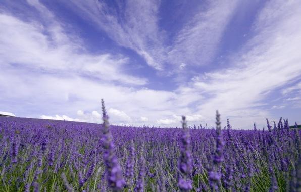 Картинка поле, небо, облака, цветы, природа, лаванда