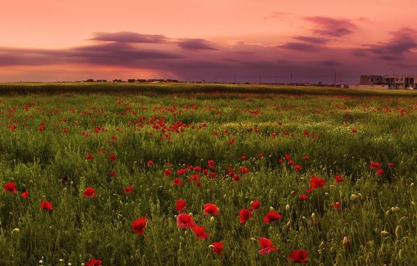 Картинка поле, закат, розовый, маки