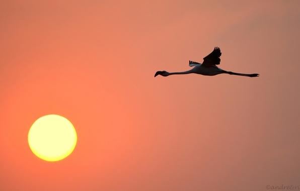 Картинка небо, солнце, закат, птица, фламинго
