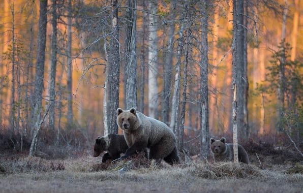 Картинка лес, медведи, дикая природа