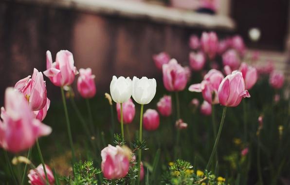 Фото обои цветы, розовые, белые, тюльпаны