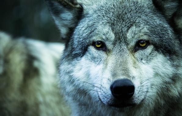 Картинка взгляд, животное, волк, хищник, wolf