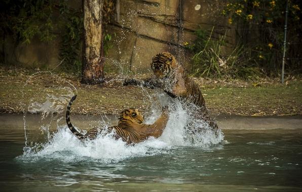 Картинка брызги, игра, хищники, купание, драка, пара, дикие кошки, тигры