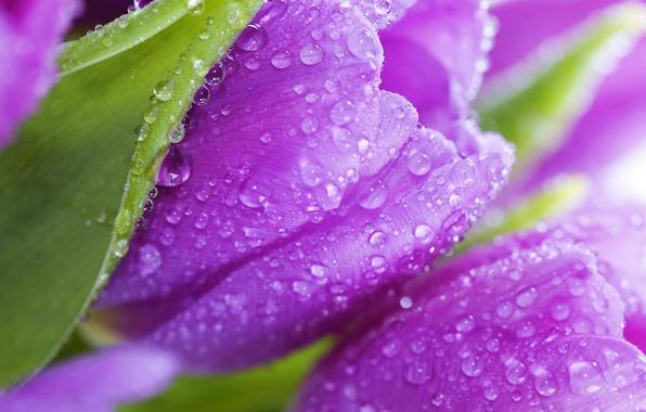 Картинка листья, цветы, роса, красота, лепестки, фиолетовые, тюльпаны, flowers, beauty, violet, Tulips