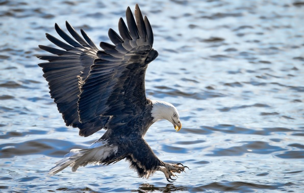Картинка полет, атака, рыбалка, крылья, белоголовый орлан, хищная птица