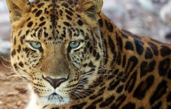Картинка усы, морда, портрет, леопард, лежит, смотрит