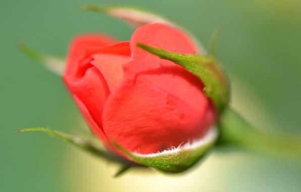 Картинка цветок, листья, роза, лепестки, стебель, бутон