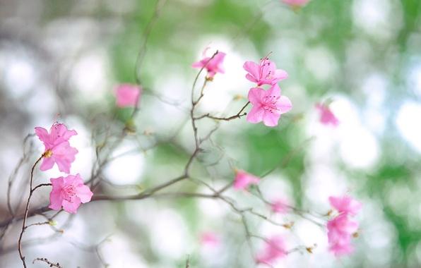 Картинка макро, цветы, природа, фото, ветка, весна, лепестки, размытость, розовые, цветение