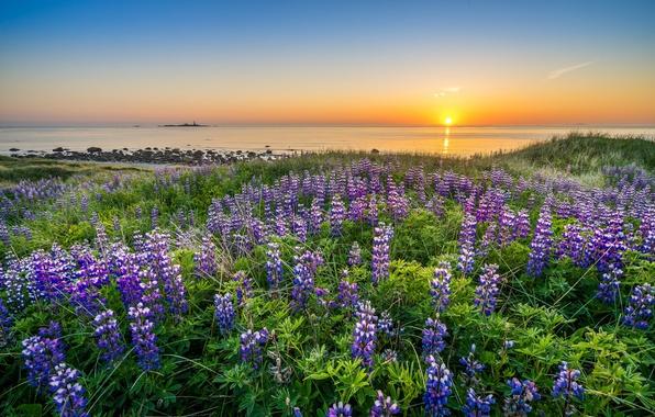 Картинка море, закат, цветы, побережье, Норвегия, Norway, Северное море, North Sea, Ругаланн, люпины, Rogaland