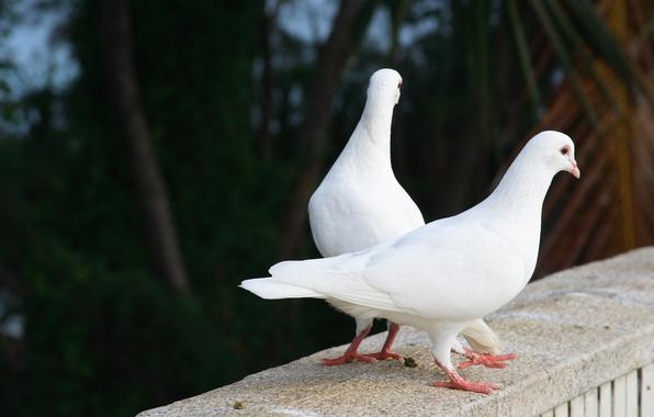 Картинка лето, птицы, природа, настроения, красота, пара, голуби