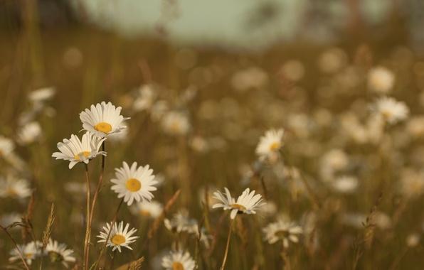 Картинка поле, лето, трава, макро, цветы, природа, тепло, цвет, ромашки, растения, луг