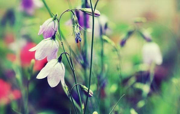 Картинка трава, цвета, макро, цветы, природа, цвет, растения, размытость, колокольчики