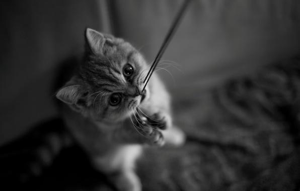 Картинка кошка, кот, усы, взгляд, котенок, лапки, мордочка, черно-белое, котёнок, нитка