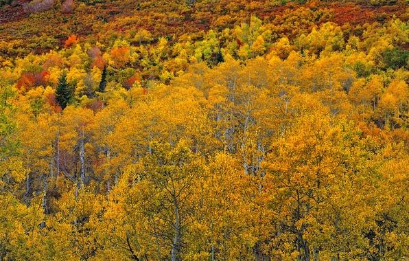 Картинка осень, лес, листья, Колорадо, США, осина, Аспен