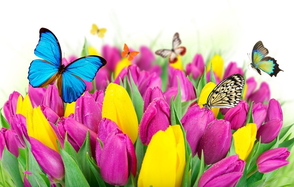 Картинка бабочки, цветы, весна, colorful, тюльпаны, fresh, yellow, flowers, beautiful, tulips, spring, purple, butterflies