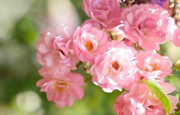 Картинка макро, розовый, розы
