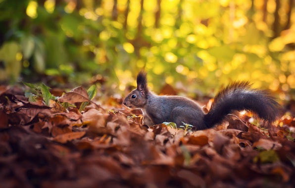 Картинка осень, листья, белка, боке
