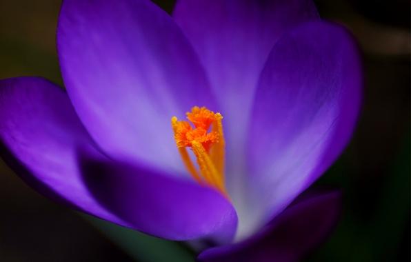 Картинка фиолетовый, макро, сиреневый, фокус, Крокус
