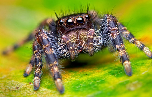 Картинка глаза, макро, паук, лапы, spider, насекомое, eyes, macro, insect, paws