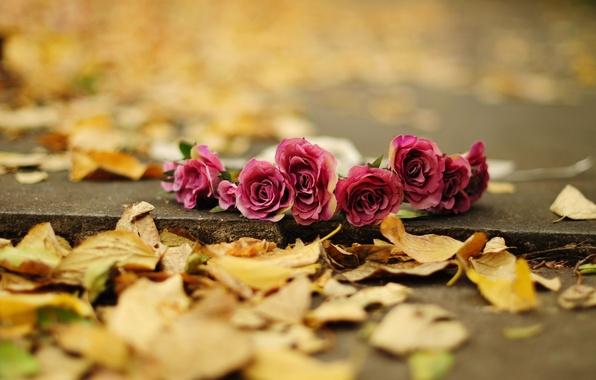 Картинка осень, листья, цветы, фон, земля, widescreen, обои, роза, розы, желтые, wallpaper, цветочки, flower, широкоформатные, background, …