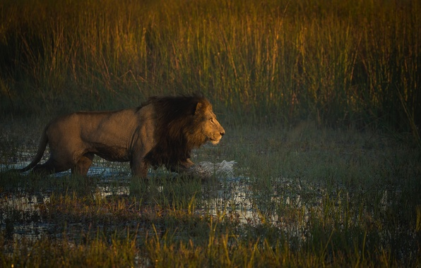 Картинка лев, африка, охотник